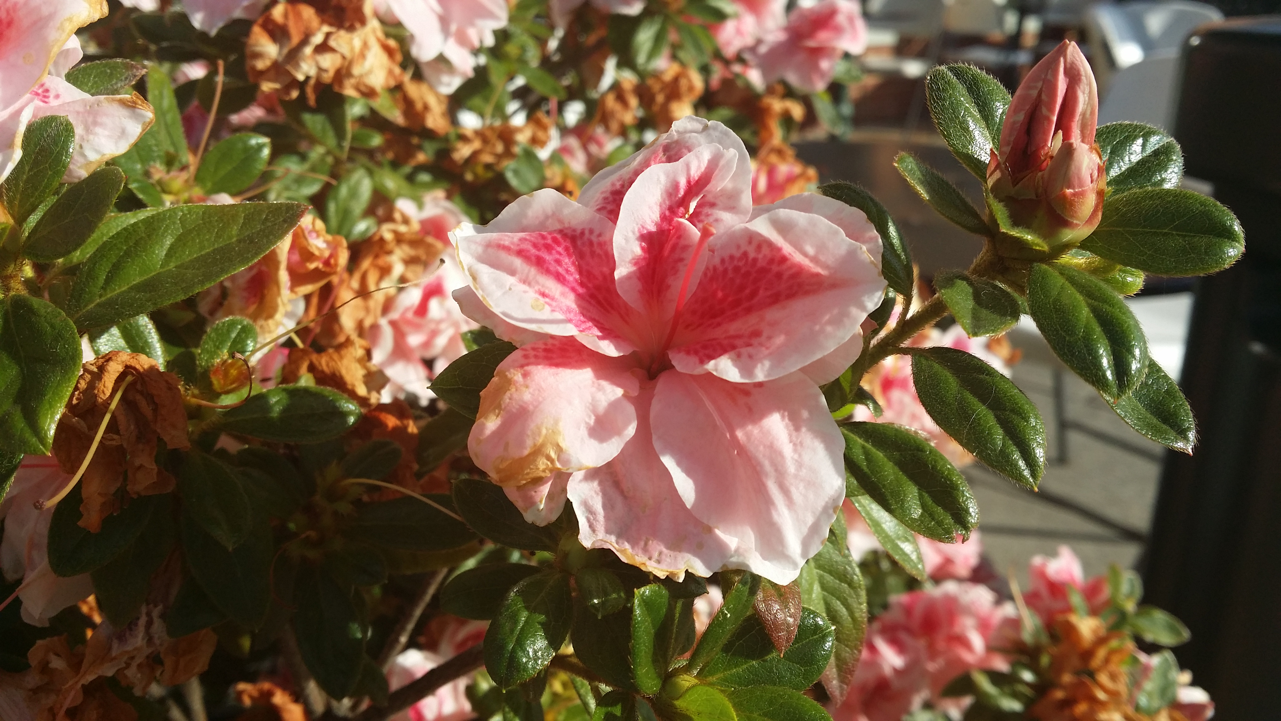 How to use scrapbook on galaxy note 3 - Galaxy Note 3 Camera Sample Flower1