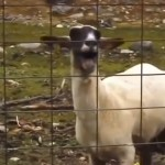 sprint sheep ad